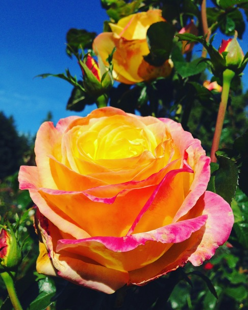 Holy Roses of Color