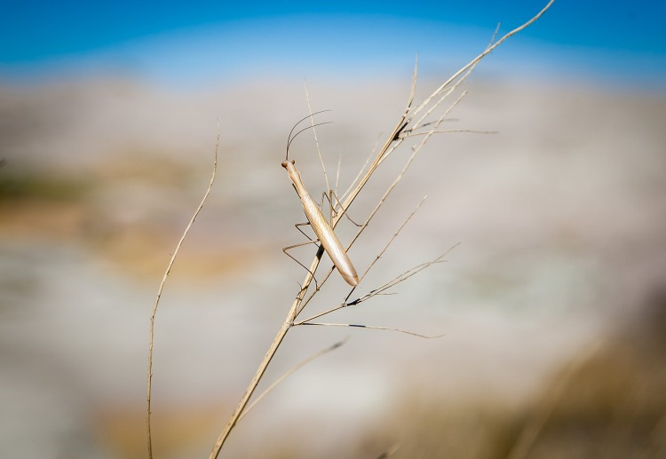 Mantis Perch in the Badlands