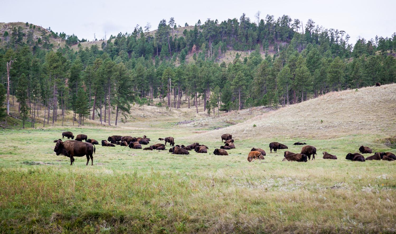 Buffalo of Custer State Park