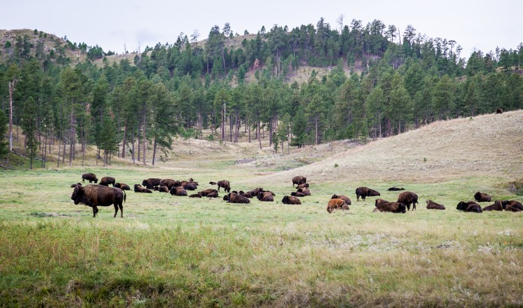Buffalo of Custer State Park