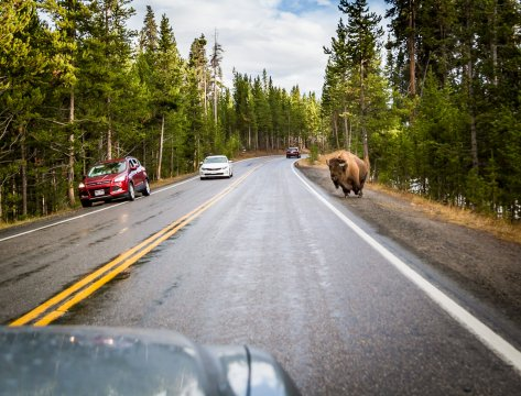 Bison as Big as Cars