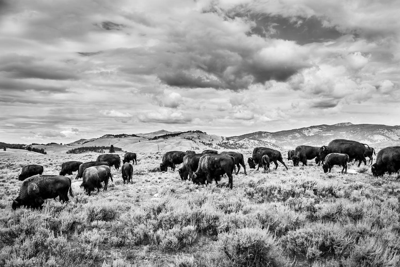 Fields of Bison