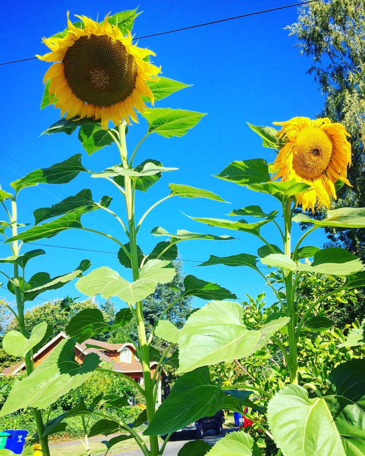 Sunflowers So Tall they Block the Sun