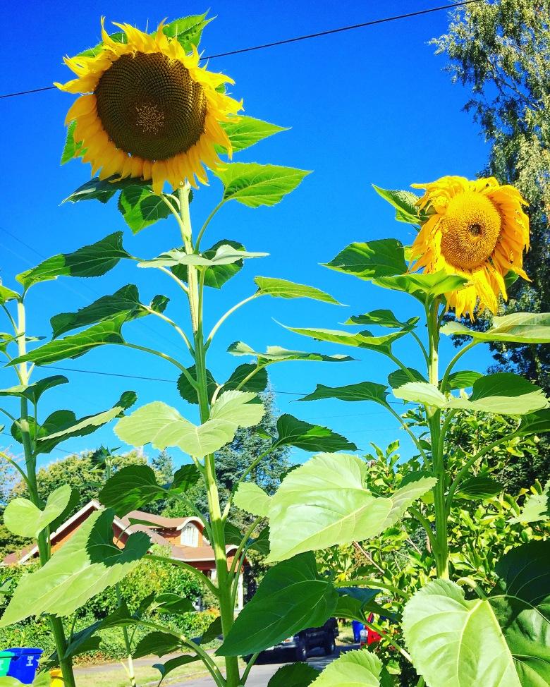 Sunflowers So Tall they Block the Sun