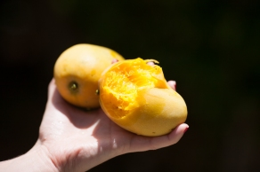 Mangos from a Kind Man