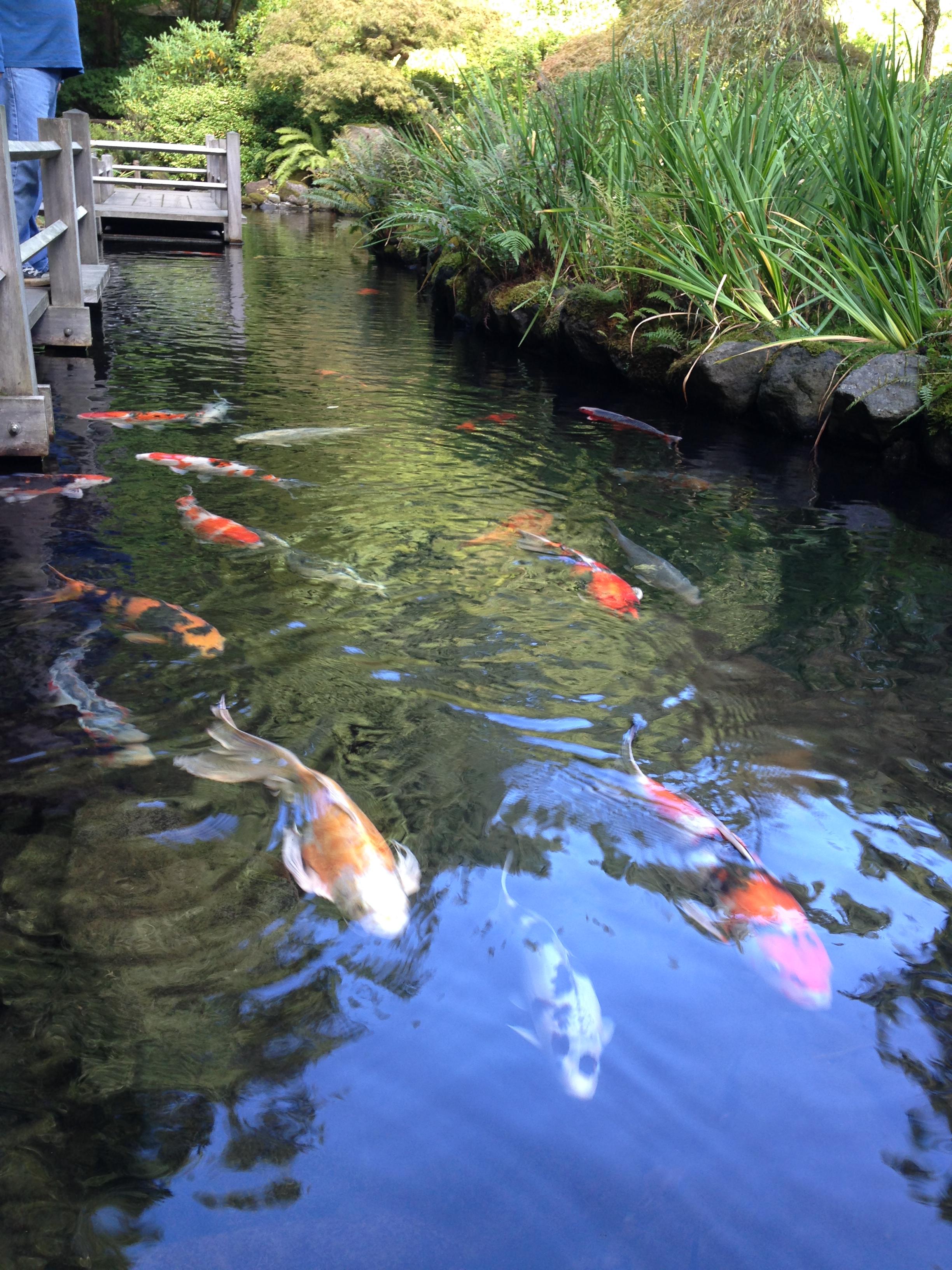 Japanese Garden Coy Fish
