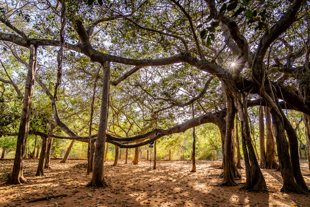 Travel India Pondicherry Auroville Banyan Tree