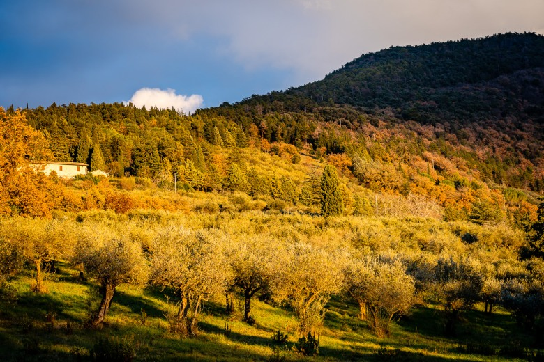 Olive Grove in Assisi, Italy