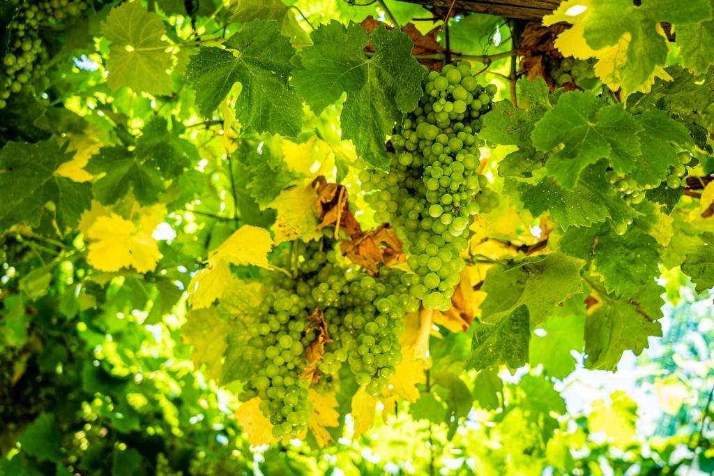 Italy Pic of the Day Glera Grape Prosecco